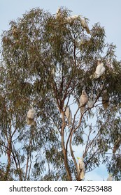 Cockatoos sitting in a gum tree