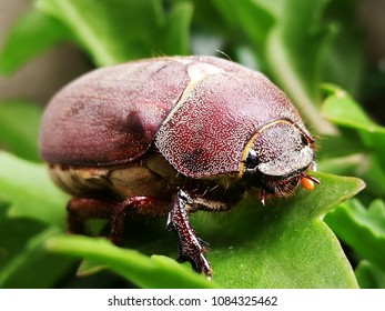 Cockchafer Beetles, also know as May Bugs, Usually appear late April, early May. With a late Spring. They are large beetles and fly in a rather ungainly way and often crash into windows.