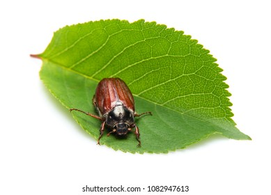 Cockchafer on cherry leaf, isolated on a white background with shadows. Also called May bug or doodlebug