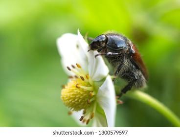 Cockchafer on flower