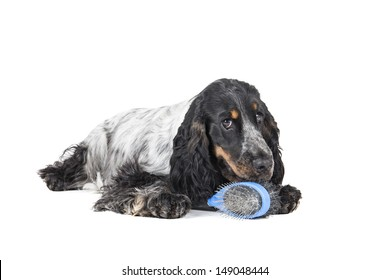 cocker spaniel dog with a comb on a white background