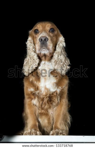 Cocker spaniel dog looking at you