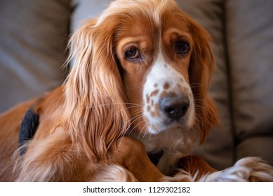 Cocker Spaniel dog pet. The image is naturally illuminated. The brown hair animal is an apartment indoor setting.
