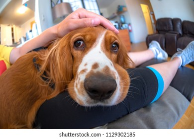 Cocker Spaniel dog pet. The image is naturally illuminated. The brown hair animal is an apartment indoor setting. Super wide angle image