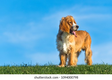Cocker Spaniel dog or pet portrait. The animal is brown and beautifully contrast with the vibrant blue and green of the public park