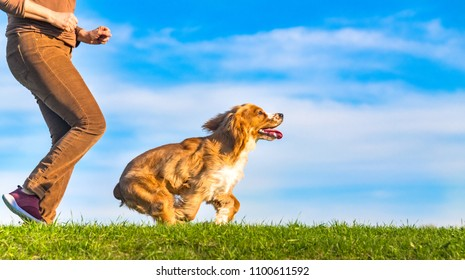 Cocker Spaniel dog pet running with its owner on a clear blue sky day typical of the Spring season. The grass of the field is green.