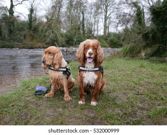 Cocker spaniel dogs on a walk by the river