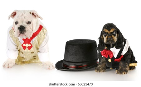 cocker spaniel and english bulldog puppy dressed up in formal clothing with top hat with reflection on white background