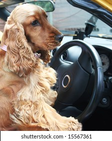 Cocker Spaniel good to go behind the wheel of open topped sports Car