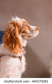 cocker spaniel isolated blurred background. studio portrait, pet, Puppy, Dog