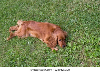 Cocker Spaniel lays on the grass,Golden English Cocker Spaniel dog laying down on green grass on a bright sunny day