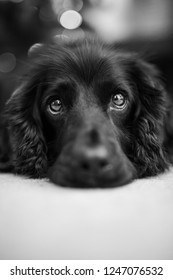 Cocker spaniel looking sad, forlorn, in black and white. Close up of her face, working cocker spaniel breed, female.