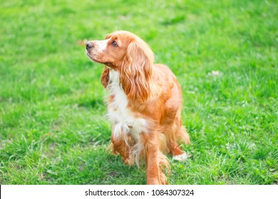 cocker spaniel on green grass
