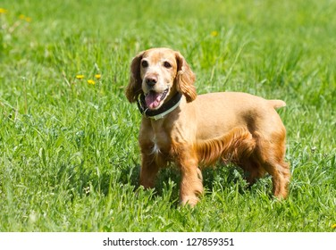 Cocker Spaniel on a green grass