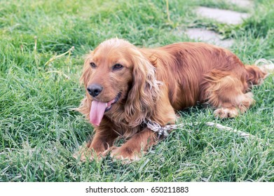 Cocker Spaniel on the green grass