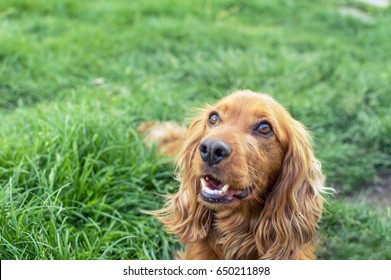 Cocker Spaniel on the green grass