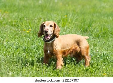 Cocker Spaniel on a green meadow