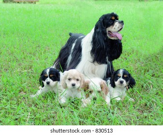Cocker spaniel with puppies