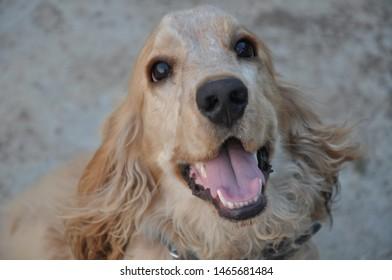 cocker spaniel Puppy a beautiful pet