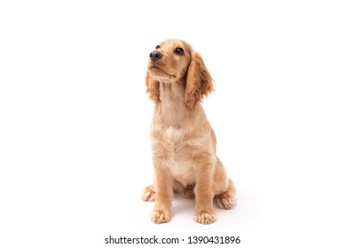 Cocker Spaniel puppy dog sitting and looking to the side isolated against a white background