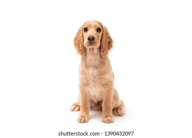 Cocker Spaniel puppy dog sitting isolated against a white background