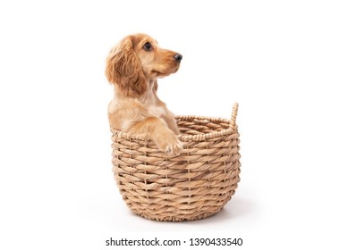 Cocker Spaniel puppy dog sitting in a basket isolated against a white background