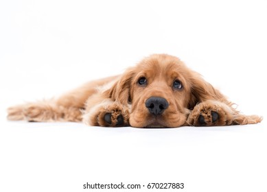Cocker Spaniel Puppy laying down