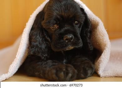 cocker spaniel puppy peeking out from under blanket