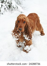 Cocker Spaniel Puppy playing in the Snow