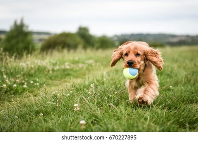 Cocker Spaniel puppy runs with ball in mouth