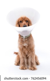 Cocker Spaniel sitting against a white background wearing a plastic Elizabeth Collar for protection after surgery