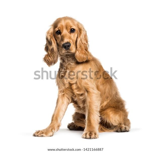 Cocker spaniel sitting against white background