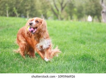 cocker spaniel in a summer park
