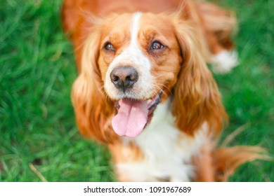 cocker spaniel for a walk in the park