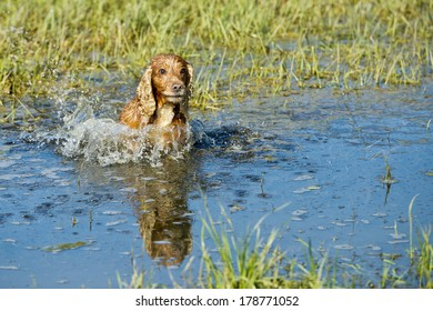 cocker spaniel while running to you in the water
