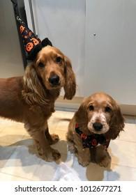 Cocker Spaniels at Halloween