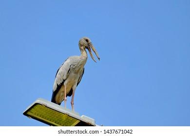 Cockerel, The bird, standing on top of the pillar.
