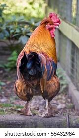 A cockerel looking back towards the camera.