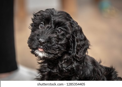 Cockerpoo Cute Puppy