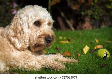 Cockerpoo dog blonde