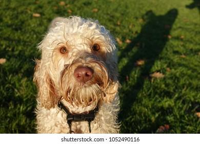 Cockerpoo dog cream colour