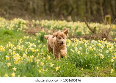 Cockerpoo Dog happy running through daffodils.  Gorgeous teddy bear color.