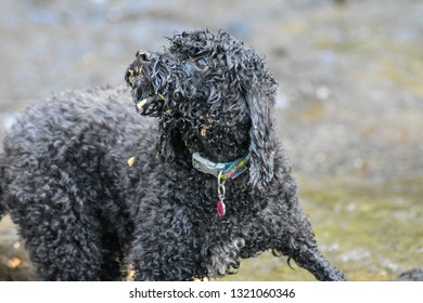 Cockerpoo dog looking wet and having fun
