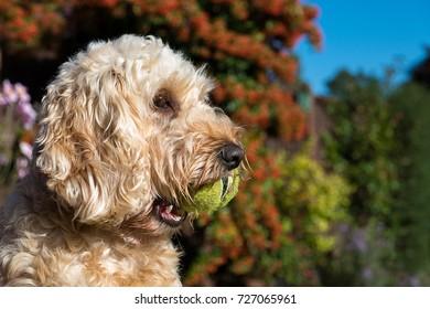 Cockerpoo dog playing with ball