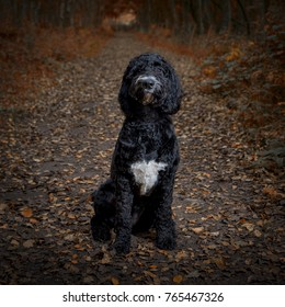 Cockerpoo dog posing in an autumnal background.