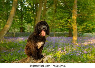Cockerpoo Dog posing on a log in a Bluebell wooded background
