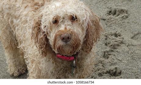 Cockerpoo dog sandy face