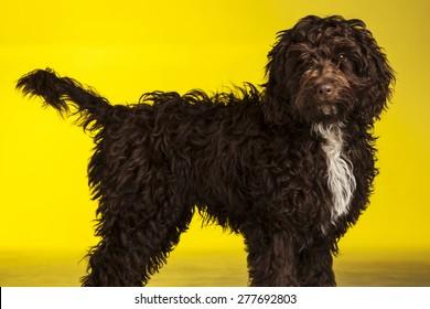 Cockerpoo dog (Spaniel cross poodle) on yellow background