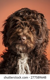 Cockerpoo dog (Spaniel and Poodle mix)