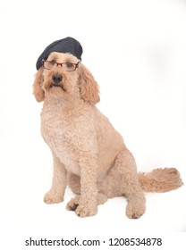 Cockerpoo Dog Wearing glasses and Beret